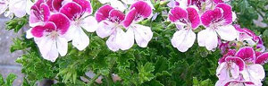 les g�raniums (pelargonium)